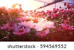 Stock photo  old rose color chrysanth flower field with retro vintage instagram app filter 594569552