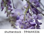 Small photo of American Wisteria just blooming (Wisteria frutescens)