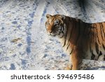 the siberian tiger  panthera... | Shutterstock . vector #594695486
