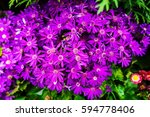 chrysanthemum flowers   Shutterstock . vector #594778406
