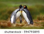 king penguin couple cuddling in ... | Shutterstock . vector #594793895
