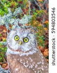 Small photo of Wood spirit. Portrait of boreal owl (Tengmalm's owl, Aegolius funereus) in characteristic interior of Northern taiga (boreal coniferous forest). Owl stares into lens from bottom up