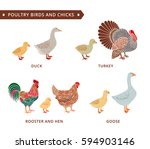 poultry birds and chicks  duck  ... | Shutterstock .eps vector #594903146