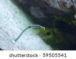 Spotted Garden Eel Heteroconge...