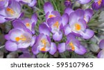 closeup of a bunch of violet... | Shutterstock . vector #595107965