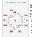citric acid cycle with colorful ... | Shutterstock .eps vector #595171286