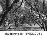 Twisted Live Oak Trees   Black...