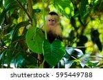 Capuchin Monkey. Manuel Antoni...