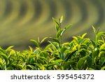fresh tea leaves in morning | Shutterstock . vector #595454372