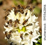 many bees on a white flower.... | Shutterstock . vector #595562846