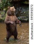 kamchatka brown bear  ursus... | Shutterstock . vector #595593572