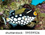 Clown Triggerfish (Balistoides conspicillum) in Aquarium - stock photo