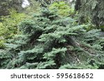 Small photo of Abies amabilis 'Spreading Star'
