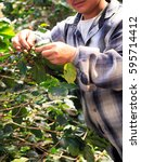 Small photo of arabica coffee berries with agriculturist hands