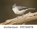 A Perched Tufted Titmouse.