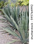 Small photo of Agave angustifolia / Marginata / Caribbean agave cactus