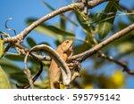 Small photo of Lizard (Oriental garden lizard, Eastern garden lizard, Changeable liz', Calotes mystaceus, Calotes versicolor, Agamidae, Agamid liz') red and brown color on a tree in the garden