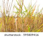 Clump Of Mission Grass In Fron...