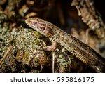 common lizard  zootoca vivipara ...   Shutterstock . vector #595816175