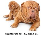Puppy And Dog Of Dogue De...
