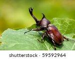 Rhinoceros Beetle  Allomyrina...