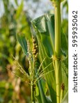 Small photo of Corn disease or Corn malnutrition