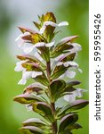 Small photo of bunch of acanthus flowers closeup, Acanthus mollis
