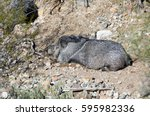 mature collared peccary resting ... | Shutterstock . vector #595982336