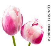 beautiful pink tulips isolated... | Shutterstock . vector #596076455