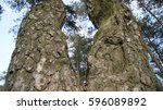 Small photo of Two accrete trees. Two old pines. Trees from below.