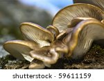 Oyster Fungus Growing On Dead...