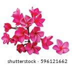 pink plumeria flower on white... | Shutterstock . vector #596121662