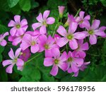 Pink Sorrel Flowers  Oxalis...
