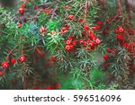 red berries of juniper in... | Shutterstock . vector #596516096