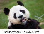 giant panda  ailuropoda... | Shutterstock . vector #596600495