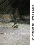 Small photo of Five Bar Swordtail, this species is creamy white above, with a series of black transverse stripes in the costal area of the forewing and also basal half of the hindwing is green, with black spots.
