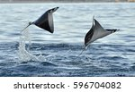 mobula ray jumping out of the... | Shutterstock . vector #596704082