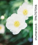white camellias with yellow... | Shutterstock . vector #596707046