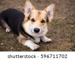 the dog is on a walk. spring... | Shutterstock . vector #596711702