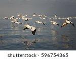 American White Pelicans...