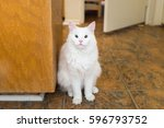 Small photo of White cat with eyelid agenesis