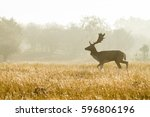 Fallow Deer In Landscape With...