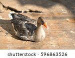 Domestic Goose Sits On The...