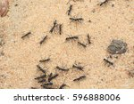 Small photo of Driver ants or safari ants (Dorylus sp) in Zambia