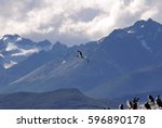 rock cormorant  phalacrocorax... | Shutterstock . vector #596890178