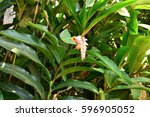 Small photo of The flower of Alpinia in the bush