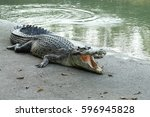 Crocodiles Resting At Crocodil...