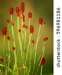 Small photo of Sanguisorba officinalis. great burnet. Chinese Herbal Materia Medica by Dan Bensky Di Yu. the root is used to stop bloody dysentery, nosebleeds, and is applied topically to treat burns