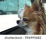 Jenny The Chihuahua Dog