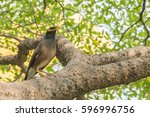 Small photo of Acridotheres.Acridotheres open mouth.Bird standing on a branch.